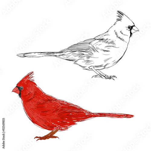Photo  Cardinal bird.  Vector set. Hand drawn illustration