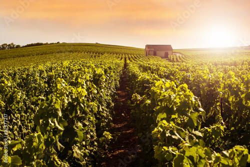 Fotografie, Obraz  Champagne Vineyards at sunset, Montagne de Reims, France