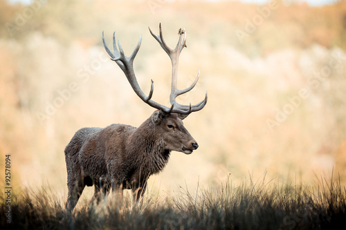 Poster Cerf cerf brame chasse animal sauvage bois roi