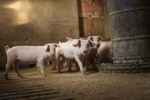 Group Of Little Pigs Waiting F...