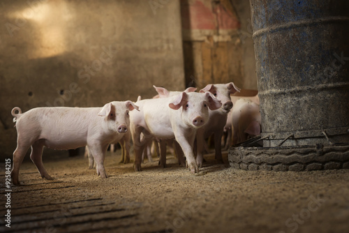 Stampa su Tela Group of little pigs waiting for food in the pen