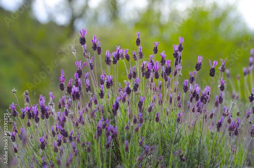 Flores De Lavanda Buy This Stock Photo And Explore Similar Images