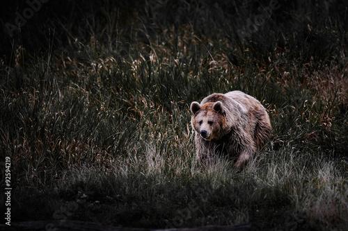 Fotografie, Tablou  ours brun pyrénées