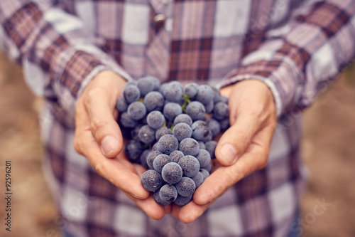 Montage in der Fensternische Wein Farmers hands with blue grapes