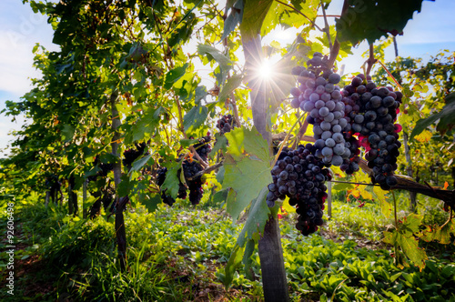Foto  Ripe wine grapes on vines in Tuscany, Italy.