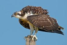 A Juvenile Osprey On Post