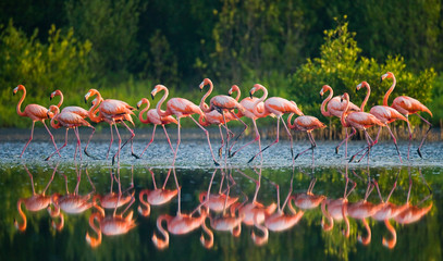 Obraz na SzkleCaribbean flamingo standing in water with reflection. Cuba. An excellent illustration.