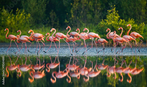 Photo Stands Flamingo Caribbean flamingo standing in water with reflection. Cuba. An excellent illustration.