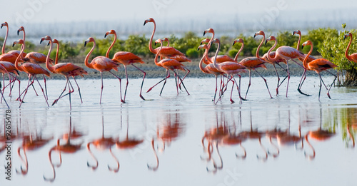 Spoed Fotobehang Flamingo Caribbean flamingo standing in water with reflection. Cuba. An excellent illustration.