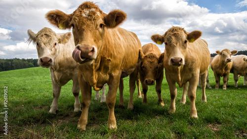 Photo Stands Cow Braune Milchkuh streckt Zunge raus