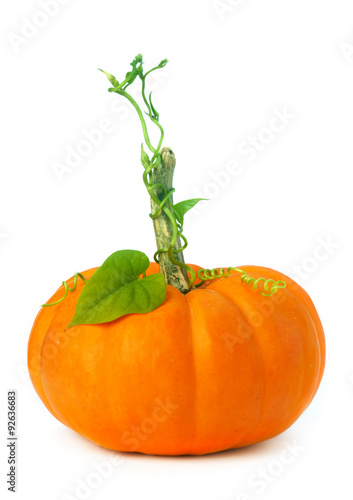 Valokuva  Little pumpkin with vines and leaves