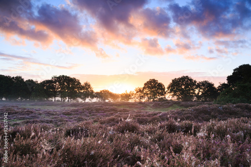 Sunrise over Dutch heath landscape with flowering heather and spiderwebs. Drenthe, the Netherlands.