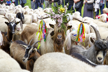 Falcade, Belluno, Italy - September 26, 2015: Se Desmonteghea a great party in Falcade for the livestock returning from the highland pastures