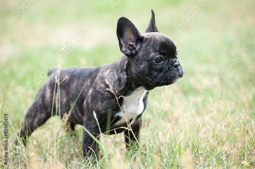 Deurstickers Franse bulldog French bulldog puppy outdoors on the grass