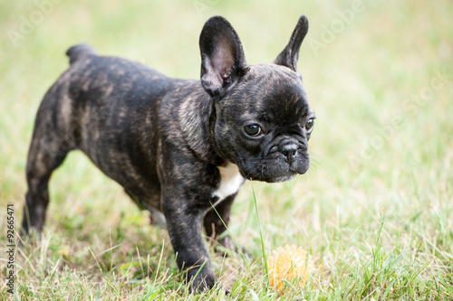 Deurstickers Franse bulldog French bulldog puppy playing with ball on the grass