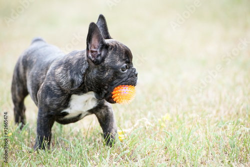Poster Franse bulldog French bulldog puppy playing with ball on the grass