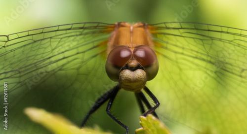 Fotografie, Obraz  Portrait of Dragonfly With Wings Extending to Sides