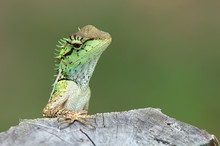 Green Lizard With Stump In Thinking Moment