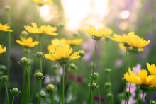 Blooming Coreopsis Flowers In A Field