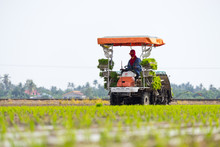 SUNGAI BESAR, MALAYSIA - 8TH APRIL 2015; Unidentified Farm Worker Preparing The Paddy Tillers For Transplanting At Sungai Besar, Malaysia.