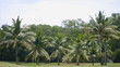Row of coconut tree in golf,Thailand