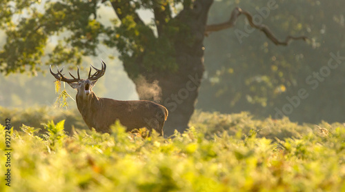 A red deer calling out in the autumn