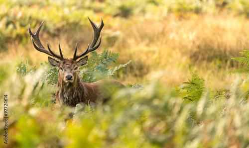Poster Cerf Red Deer in the bracken