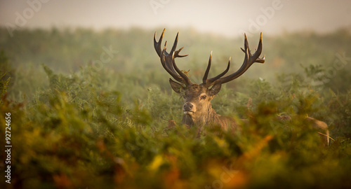 Poster Cerf Red deer stag looking at the camera