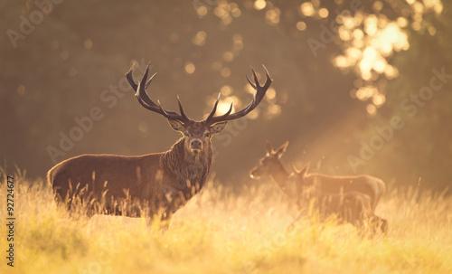 Deurstickers Hert Red deer stag in the golden morning light