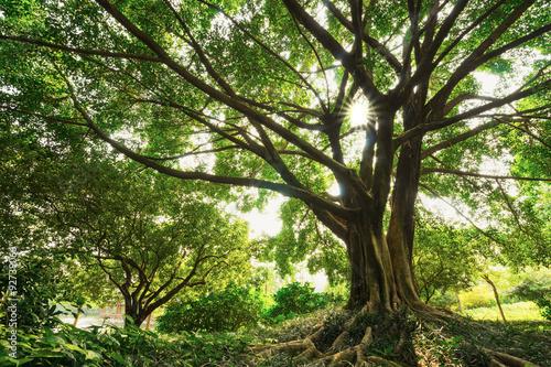 Photo old banyan