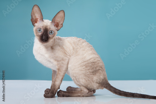 Cornish Rex kitten isolated on white background Canvas Print