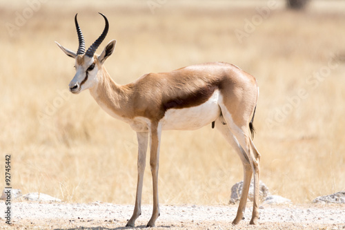 Wall Murals Antelope springbok on gravel road
