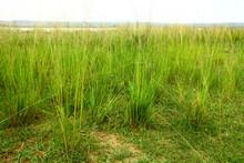 Green Savannah Grass