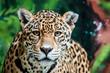 Leinwandbild Motiv Taunting the Jaguar