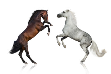 Two stallion rearing up on white background