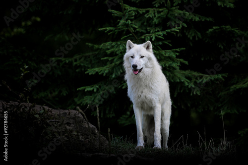 Photo  loup blanc arctique animal mammifère