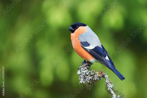 Photo European Bullfinch