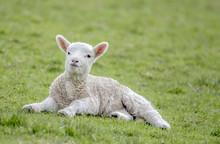 Cute Lamb Resting On Grass