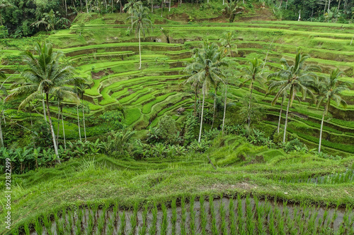 Photo Stands Bali Terrace rice fields in Tegallalang