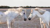 two white horses  - 92841082