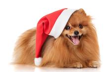 Dog Spitz In A Santa Claus Hat