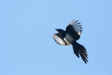 Eurasian Magpie, Magpie, Pica Pica