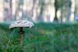 ein Riesenschirmpilz im Wald