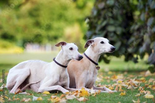 Fotografia Dwa psy whippet leżąc na zewnątrz w jesieni