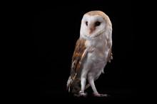 Barn Owl Tyto Alba, On Perch Looking Left. Low Key Studio Shot