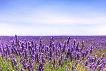 Fototapeta Lawenda Lavender flower blooming fields horizon. Valensole Provence, Fra
