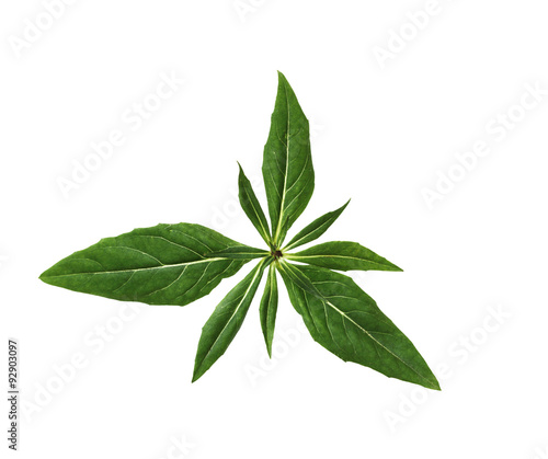 Fotografia, Obraz  Evening Primrose Leaf