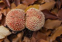 Two Mushrooms Red Toadstool Hu...