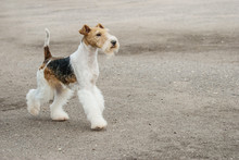 Young Fox-Terrier