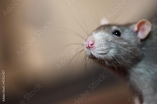 Portrait of domestic rat Fotobehang